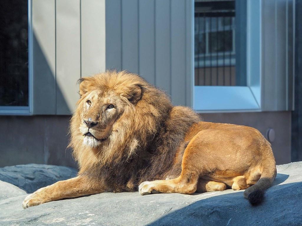 ライオン/130mm相当