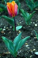 Terrific Tulip