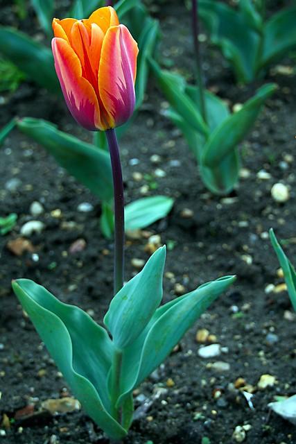 Terrific Tulip, Canon EOS M3, Tamron 18-200mm F/3.5-6.3 Di III VC