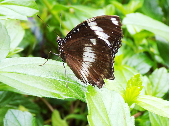 HortusButterflies10