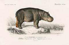 Hippopotame Amphibie (Hippopotamus)