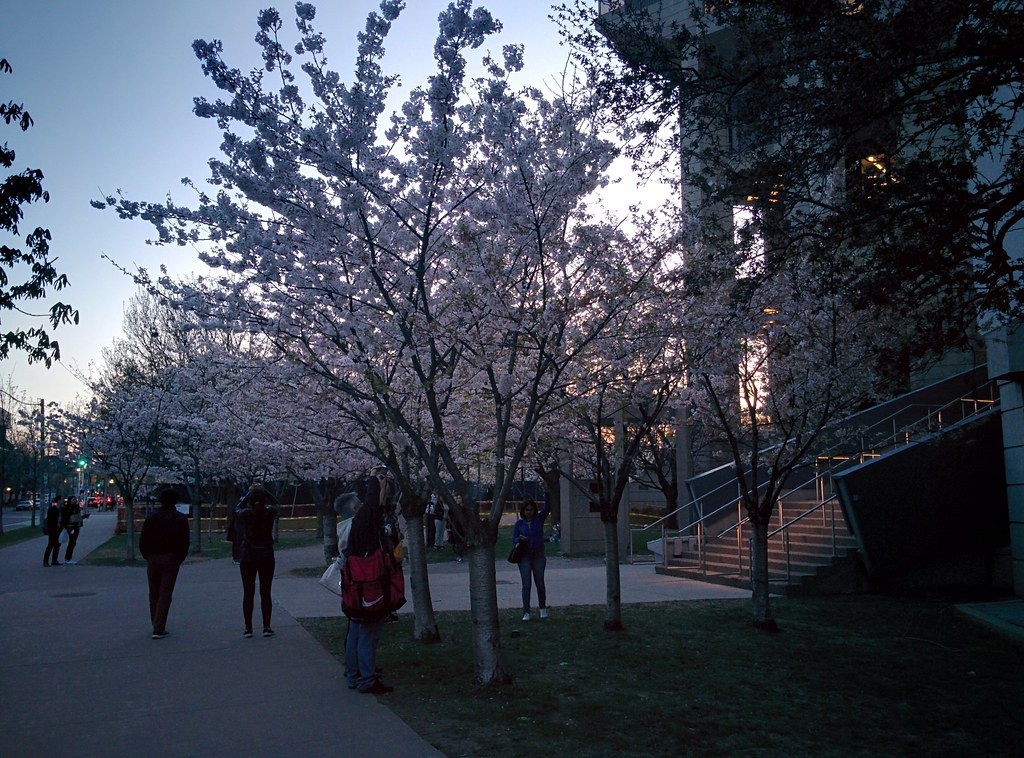 Sakura of Robarts in twilight (3) #toronto #sakura #cherryblossom #universityoftoronto #robartslibrary #harbordstreet #latergram