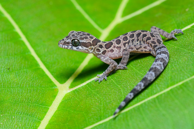 Cyrtodactylus peguensis, Spotted bent-toed gecko - Erawan National Park