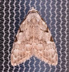 Three-spotted Nola Moth