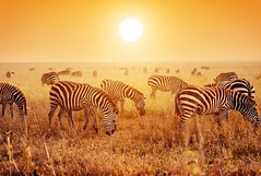 Zebras herd on African savanna at sunset.
