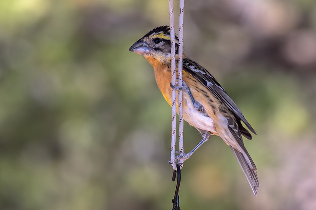 Grosbeak-on-a-Shoestring-32-7D2-051018