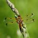Libellula Quadrimaculata  P5203180sm