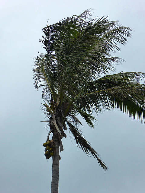 Coconut palms do not always display the full extent of their damage. Unless hanging coconut are supported by coconut fronts the nuts fall off before they reach maturity.