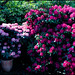 RHODODENDRON by J.P.B