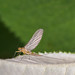 Mayfly 2-