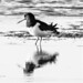 Oystercatcher - Reflection In Black and White