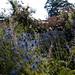 Flowering plants of Scotland