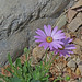 Lavender Mist Sun Daisy