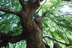 Weeping Beech Tree