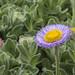Erigeron glaucus, Seaside Daisy by marlin harms
