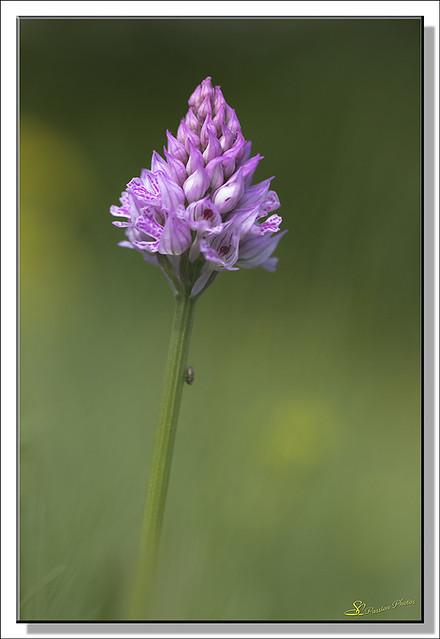 Orchidées SC (01)