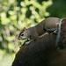 Grey Squirrel  29