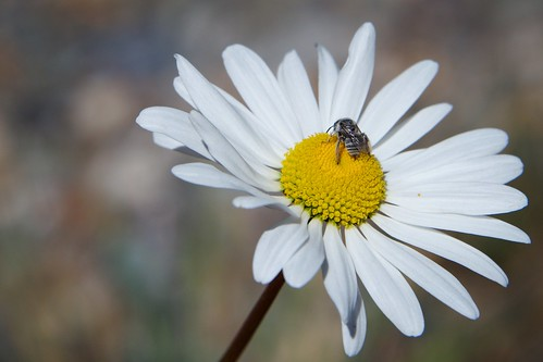 colorado us flower wildflower bee mountfalcon park oxeyedaisy leucanthemumvulgare simple nature