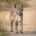 Bobcat approach by alicecahill