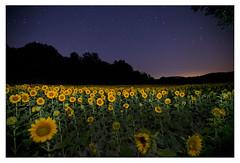 Sunflowers, upstate New York