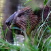 shy beaver IMG_0224