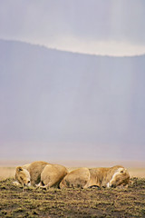 Lions at Ngorongro crater