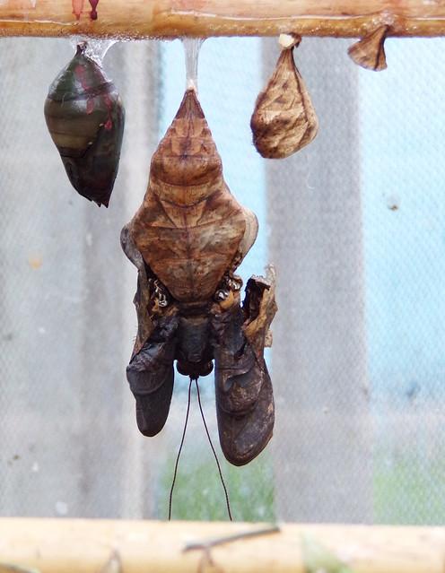 HortusButterflies3