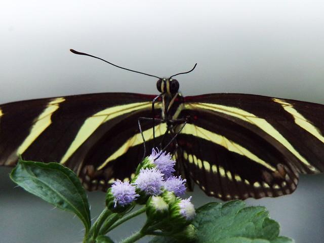HortusButterflies8