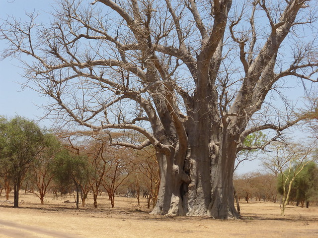 Baobab Tree, Senegal, Panasonic DMC-ZS25