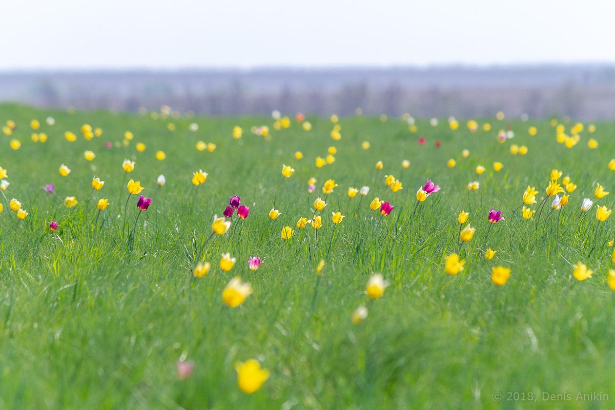 тюльпаны иваново поле фото 14