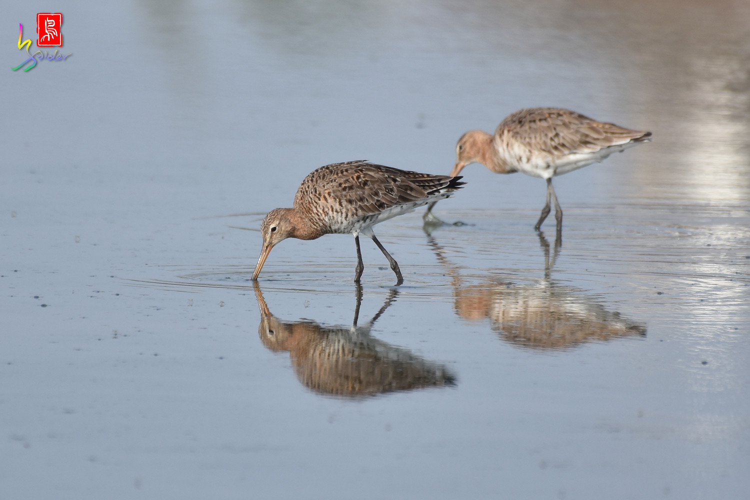 Black-tailed_Godwit_6601