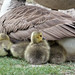 Young Goslings ....