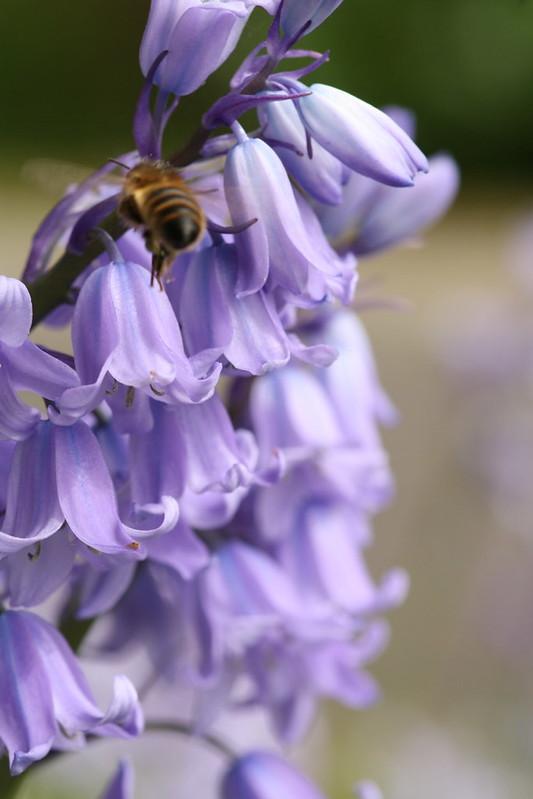 honeybee on bluebells