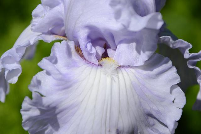 Iris 'Silverado' - Schreiner 1986 42156718981_16dbaac6a6_z