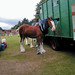 Cladesdale horse at the Highland Games