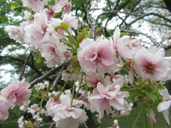 Cherry Blossoms in Koishikawa Botanical Gardens