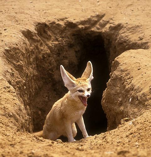 adaptation of the fennec fox to the desert Arctic fox (alopex lagopus) fennec fox (vulpes zerda)  the sahara desert: fennec fox   the main visable adaptation of the fennec fox would be their ears,.