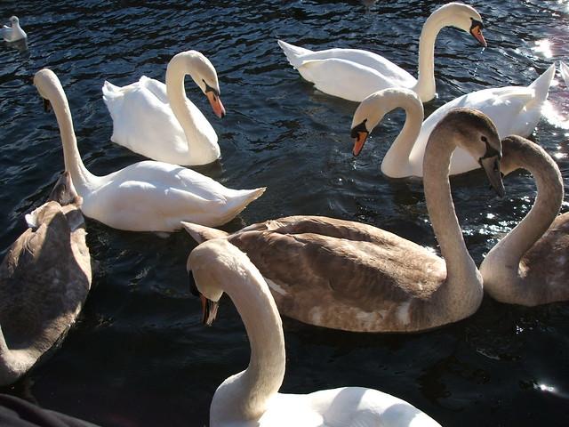 Portobello Mute Swans, Fujifilm FinePix F440