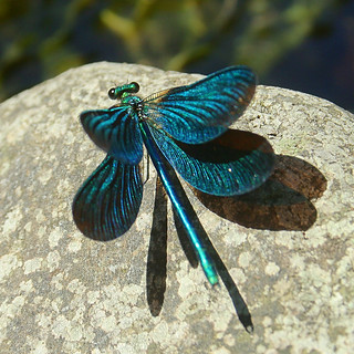 Calopteryx virgo, male