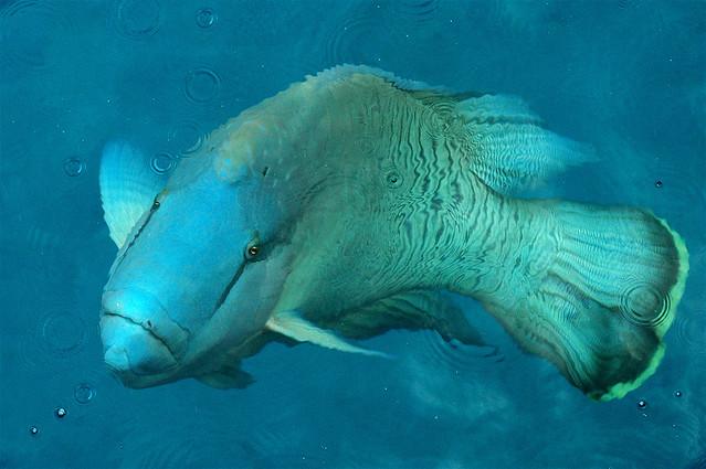 Как мы уже сказали, рыба-наполеон безобидна и даже дружелюбна, а вот...