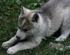 gray wolf(0.0), dog breed(1.0), animal(1.0), west siberian laika(1.0), dog(1.0), czechoslovakian wolfdog(1.0), miniature siberian husky(1.0), alaskan klee kai(1.0), siberian husky(1.0), pet(1.0), norwegian buhund(1.0), shikoku(1.0), east siberian laika(1.0), norwegian elkhound(1.0), tamaskan dog(1.0), greenland dog(1.0), northern inuit dog(1.0), wolfdog(1.0), saarloos wolfdog(1.0), native american indian dog(1.0), norwegian lundehund(1.0), jã¤mthund(1.0), alaskan malamute(1.0), sled dog(1.0), carnivoran(1.0),