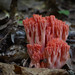 Coral Fungi - Photo (c) kim fleming, some rights reserved (CC BY-NC-SA)