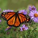 Monarch nectaring on Aster