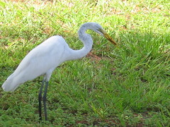 animal, fauna, little blue heron, great egret, heron, pelecaniformes, beak, crane-like bird, bird, wildlife,