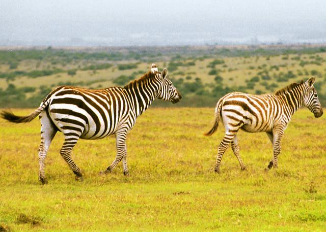 zebra running - photo #29