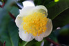 Photo:tea plant By cosmic-angler