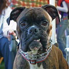 dog breed, animal, dog, old english bulldog, pet, olde english bulldogge, american bulldog, carnivoran, boxer, bullmastiff,
