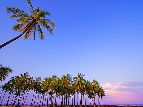 moon tree sunrise hawaii palm bigisland kona honaunau religiousnuts 28355b