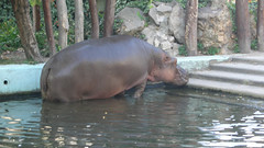Hippo in Budapest zoo