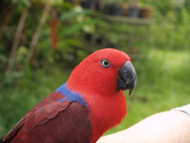Redheads have more fun. An Eclectus parrot. Boy or a girl?